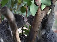 Koalas photographed near Cairns, Australia, Photograph by Dennis Brack