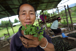 Local Hmong villagers help in the THPC demonstration centre in Nongxong village, replanting seedlings and preparing planting beds.<br />Bolikhamsay Province, Lao PDR