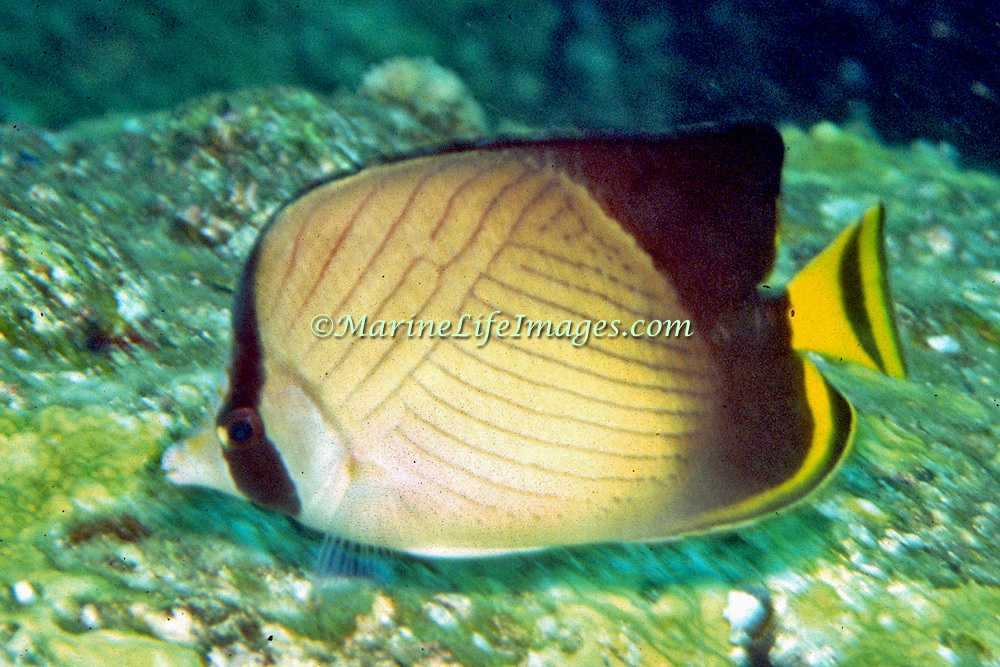 Inhabit reefs. Picture taken Andaman Sea, Thailand.