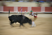 Bull charges - Bull is stopped bare handed by a team called Focados Portuguese bull fighting