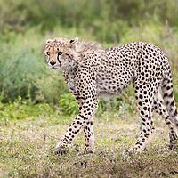 A young cheetah cub, Acinonyx jubatus,  walks through the plains of Tanzania.
