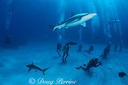 divers and requiem sharks, Carcharhinus limbatus and Carcharhinus perezi, Walker's Cay, Bahamas ( Western Atlantic )