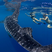 Two foreign tourists onboard the Aegel Ivan banca tour boat swimming alongside a whale shark in Honda Bay, Palawan, the Philippines.