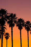 Silhouetted palm trees at sunset, Ventura, California USA