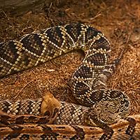 Rattlesnakes sleep in a terrarium at the California Academy of Sciences in Golden Gate Park, San Francisco, California.