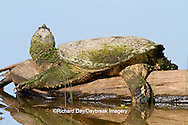 02509-00301 Snapping Turtle (Chelydra serpentina) on log in wetland, Marion Co., IL