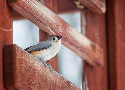 A Tufted Titmouse keeps an eye on me in the yard, deciding when it may be safe to fly to the feeder