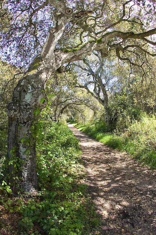 Close-up of a Coast oak tree, Garland Ranch, Carmel Valley, CA.