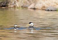 A Clark's Grebe, Aechmophorus clarkii, accepts a fish from its mate while swimming on Upper Klamath Lake, Oregon