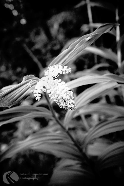 Common North American wildflower found in fur tree undergrowth.