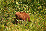 Grizzly Bear along the Haines Highway, Yukon Territory, Canada.