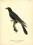 Female Coucou criard Cuculus clamosus - Black Cuckoo from the Book Histoire naturelle des oiseaux d'Afrique [Natural History of birds of Africa] Volume 5, by Le Vaillant, Francois, 1753-1824; Publish in Paris by Chez J.J. Fuchs, libraire 1799