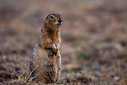 Long-tailed ground squirrel or Souslik<br /> (Spermophilus undulatus)<br /> Mongolia