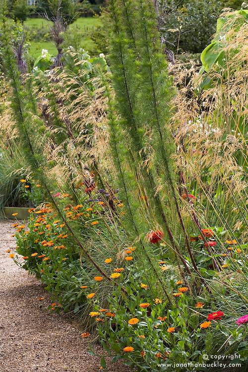 The cutting garden in late summer. Eupatorium capillifolium, Stipa gigantea and zinnias