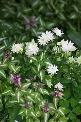 Aquilegia vulgaris 'Munstead White' syn. A.v 'Nivea'  (Columbine) with Lamium maculatum 'Roseum', Spotted deadnettle