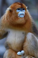 Portrait of a male Golden Snub-nosed Monkey, Rhinopithecus roxellana, Foping Nature Reserve, Shaanxi, China