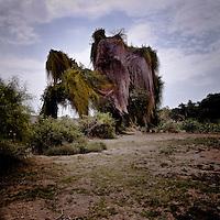 Strange tree in Angola