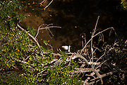 A glimpse of rare roseate spoonbill during nesting season in the red mangroves of the northern key islands, as part of Biscayne Bay National Park. Spotted by helicopter suring a survey by the National Park Service.