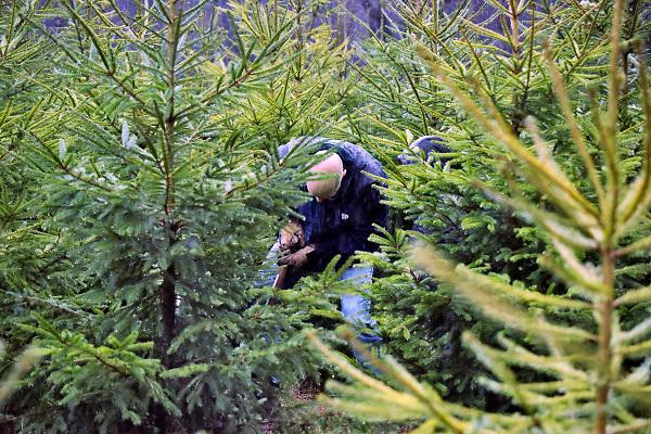 Nederland, Groesbeek, 8-12-2018Bij Staatsbosbeheer op locatie de but in de groesbeekse bossen kunnen mensen zelf hun kerstboom uitgraven.Foto: Flip Franssen