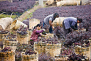 Women working in plant nursery in market town of Baisha near Guilin, China
