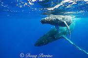 humpback whales, Megaptera novaeangliae,  mother and calf, Kohala, Kona, Hawaii, USA ( Central Pacific Ocean )