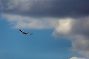 A tawny eagle takes flight against a backdrop of darkening clouds.