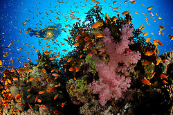 coral reef with Lyratail anthias, Pseudanthias squamipinnis, and Klunzingers soft coral, Dendronephthya klunzingeri, and scuba diver, El Quseir, Egypt, Red Sea, MR