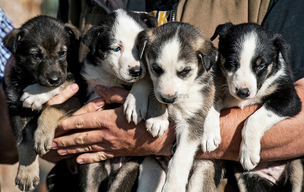 Alaskan Husky puppies, Jeff King's Husky Homestead Kennel, Denali, Alaska
