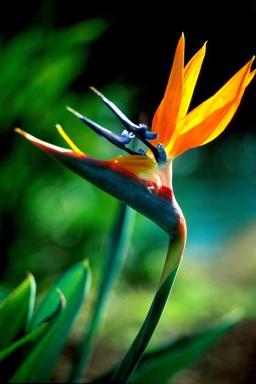 Heliconia Bird of Paradise blossom
