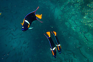 Snorkeling with king angelfish at Champion Islet near Floreana Island, Galapagos National Park, Galapagos, Ecuador