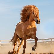 20150812 Icelandic Horses