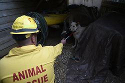 November 18, 2018 - Magalia, California, U.S. - JUSTIN ARCHER, a volunteer with North Valley Animal Disaster Group,  tosses a scared dog a biscuit to get her to calm down after putting her on a leash. Archer, was on one of a dozen or more animal rescue teams checking up on animals who were left during the Camp Fire. (Credit Image: © Neal Waters/ZUMA Wire)