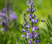 A bumblebee comes in for a landing on lupine in full bloom Thursday along the North Fork of the Teanaway River. A hot April and cool May have led to a bonanza of blooms in the high country. (Steve Ringman / The Seattle Times)