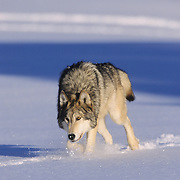 Gray Wolf (Canis lupus) adult running during the winter in the midwest. Captive Animal