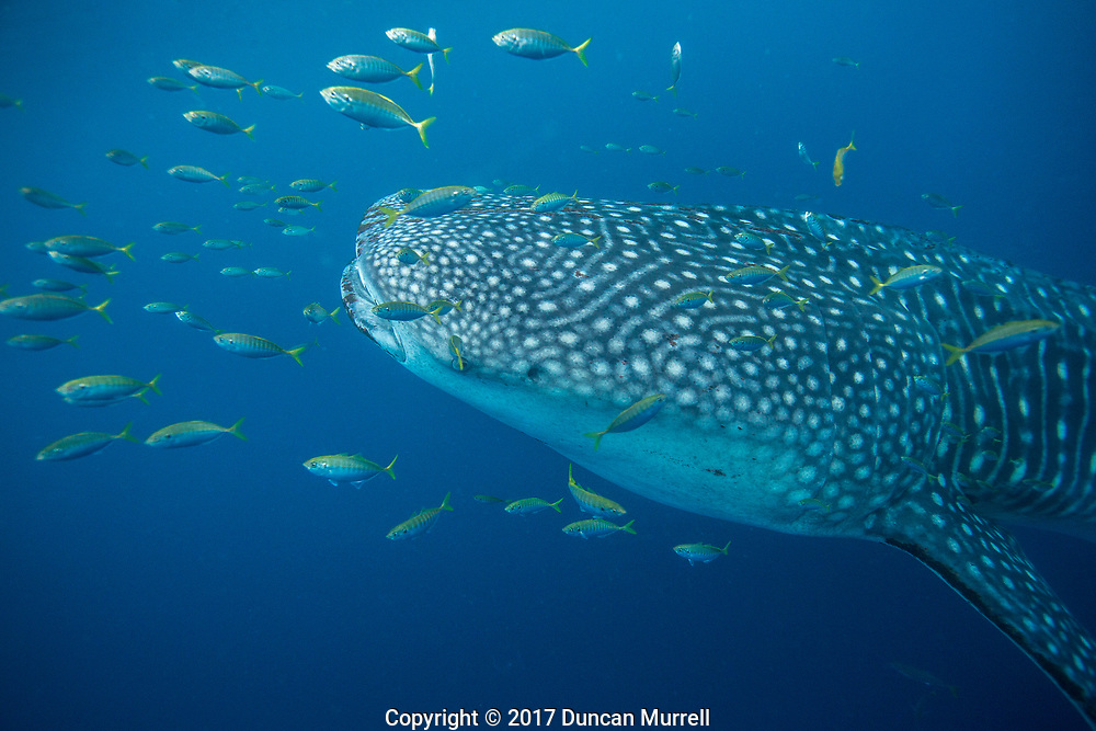 Whale shark (Rhincodon typus) with golden trevally (Gnathanodon specious), Honda Bay, Palawan, the Philippines.