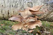 Pleurotus ostreatus - Oyster Fungus