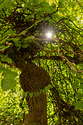 Sunlight Through Overgrown Elm Canopy