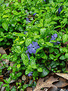 Image of the low growing ground cover plant periwinkle (Vinca minor). Fitchburg, Wisconsin, USA.