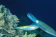 bigfin reef squid, Sepioteuthis lessoniana,<br /> female lays eggs in soft coral as male <br /> stands guard, Gato Island Marine Reserve, <br /> off Cebu Island, Philippines