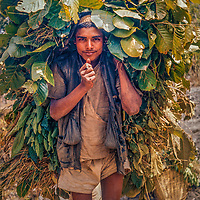 Villagers carry leaves they chopped in the forest for their animals, a major fuel of Nepal's deforestation.