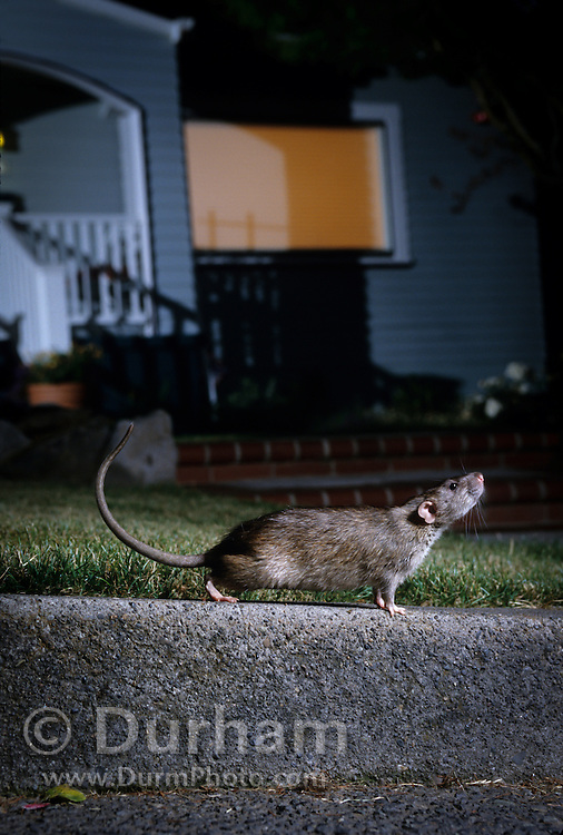 A brown rat (Rattus norvegicus) on a street curb at night in a residential neigborhood. Portland, Oregon. These rats are not native, but are european in origin and have followed human settlements around the world. Captive illustration.