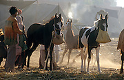 Foals for sale at the Pushkar Fair, Rajasthan, India