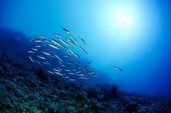 Sphyraena qenie, Querband oder Dunkelflossen Barrakuda, Schule von juvenilen Barrakudas, Blackfin barracuda, school of juvenile barracudas, St. Johns Riff Reef, Rotes Meer, Ägypten, Red Sea Egypt