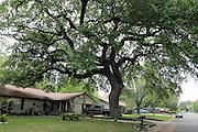 A huge old tree in a quiet neighbourhood in Round Rock, Texas