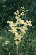 MEADOWSWEET Filipendula ulmaria (Rosaceae) Height to 1.25m. Striking perennial of damp meadows, marshes and stream margins. FLOWERS are 4-6mm across, fragrant and creamy white; borne in sprays (Jun-Sep). FRUITS are spirally twisted and 1-seeded. LEAVES are dark green and comprise 3-5 pairs of oval leaflets with smaller leaflets between. STATUS-Widespread and common throughout.