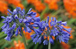 Strong colour contrast of Agapanthus 'Loch Hope' planted in front of an orange crocosmia