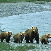 Alaskan Brown Bear, (Ursus middendorffi) Sow and cubs walking along shoreline of river.Alaska Peninsula.