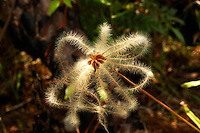 One of the strangest seedpods of all of Florida's wildflowers!