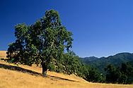 Oak tree along Tularcitos Ridge, above Carmel Valley, Monterey County, California