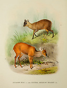 Ecuador or Northern Pudu (Pudu mephistophiles) [top] and Central American Brocket (Mazama temama) [Bottom] from the book ' The deer of all lands : a history of the family Cervidae, living and extinct ' by Richard Lydekker, Published in London by Ward 1898